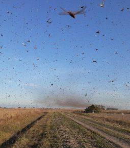 Governo autoriza uso de novos pesticidas contra gafanhotos